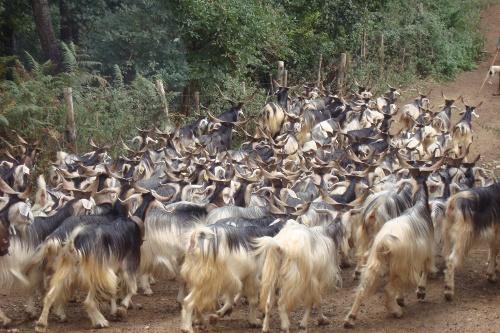 Ed anche la Calabria può ripartire dalle sue razze autoctone: La capra Nicastrese