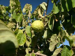 L'annona di Calabria: Vi presento un frutto  sconosciuto.
