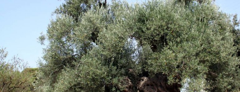 Breve ricerca dell' olivocoltura in Calabria